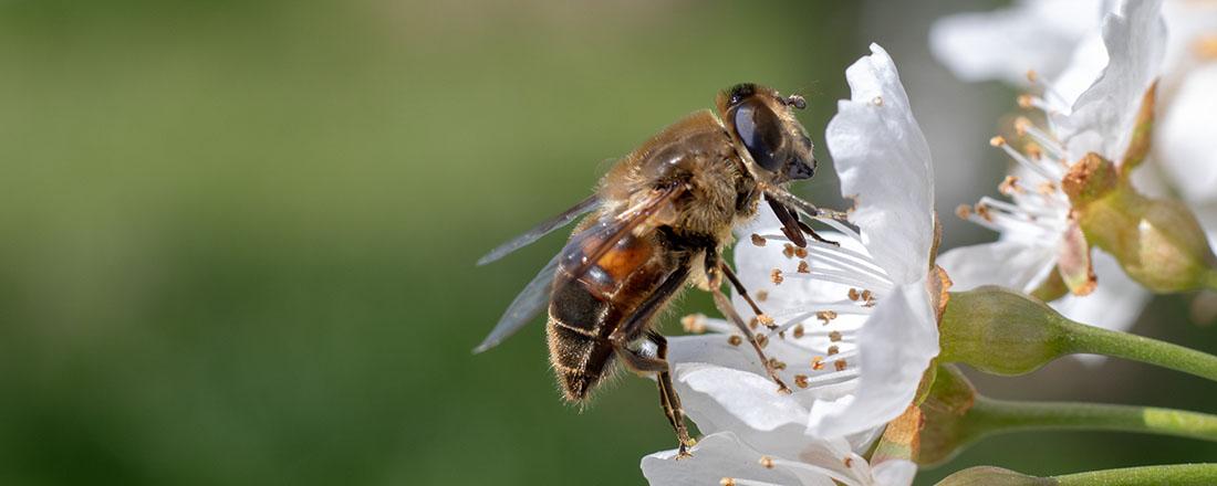 Bijen en bloesem op Hoeve de Heivelden (Bas Wetter)