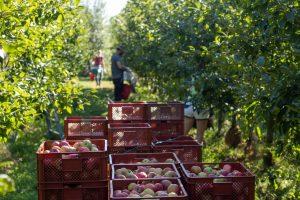 Appels plukken (Bas Wetter)